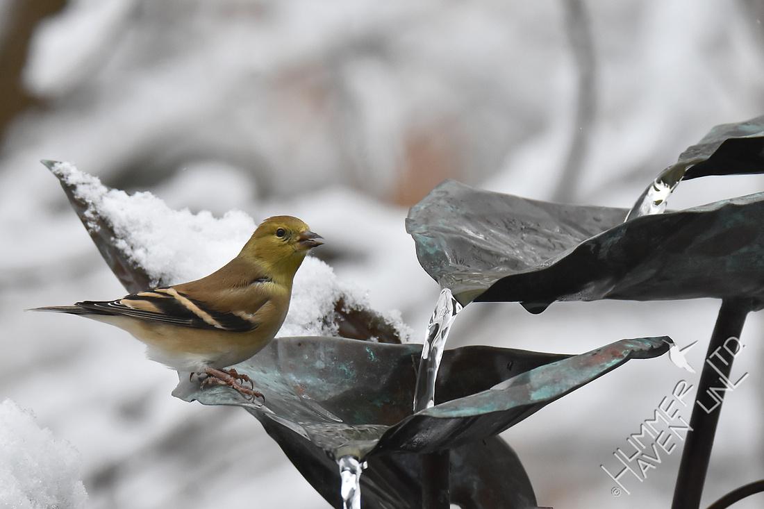 American Goldfinch  12-23-17