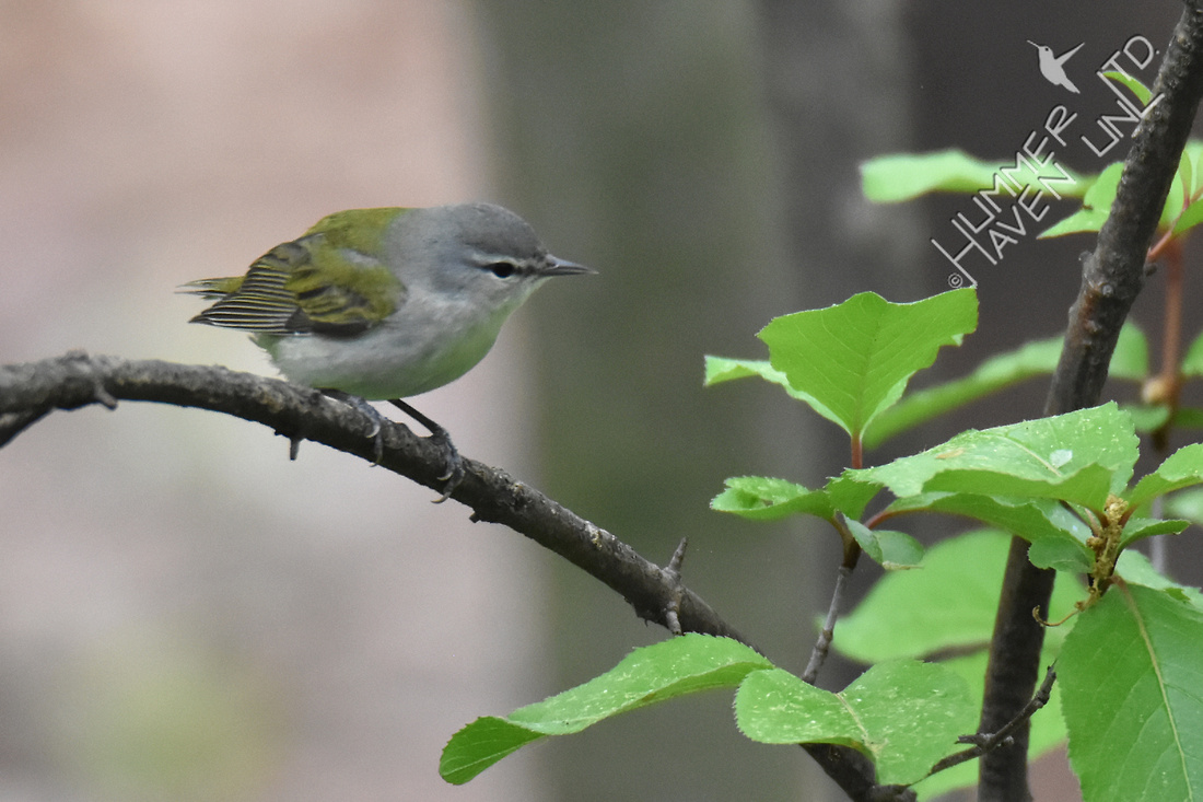 Tennessee Warbler 4-21-17