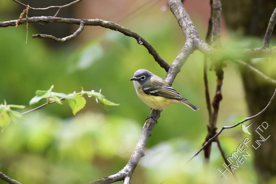 Blue-headed Vireo 4-27-17