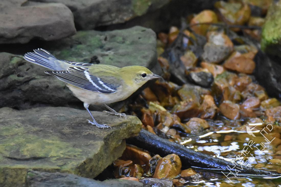 Bay-breasted Warbler female 9-22-17