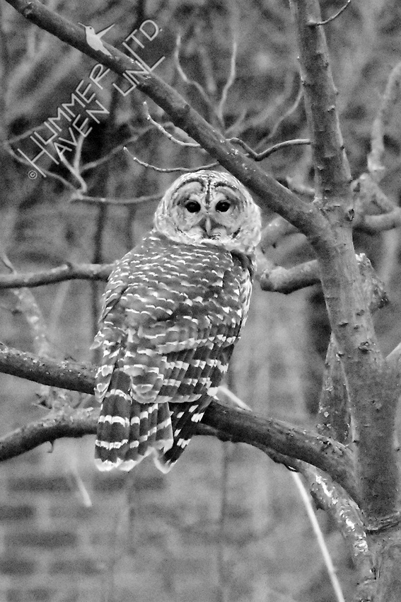 Barred Owl 3-4-18