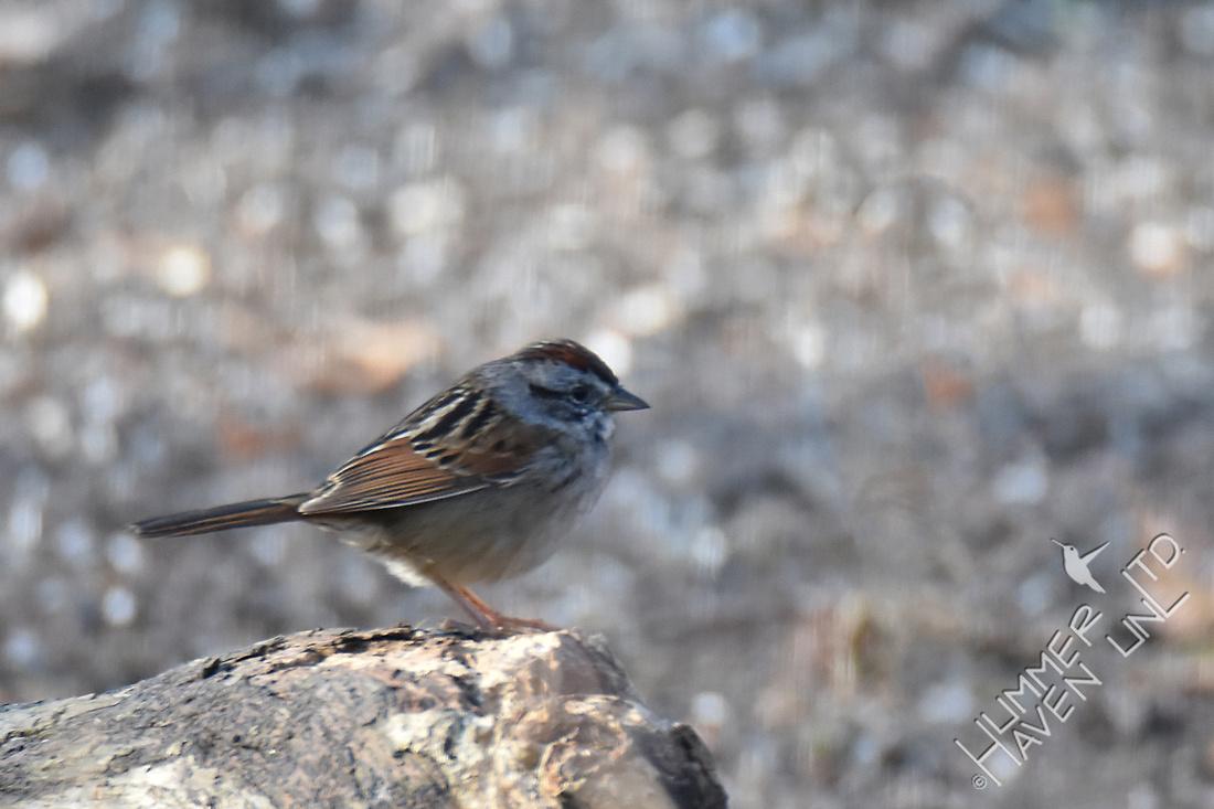 Swamp Sparrow 3-24-17