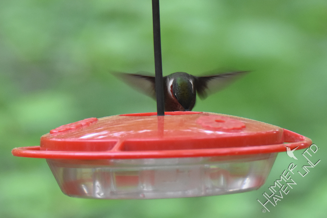 Ruby-throated Hummingbird 4-21-17