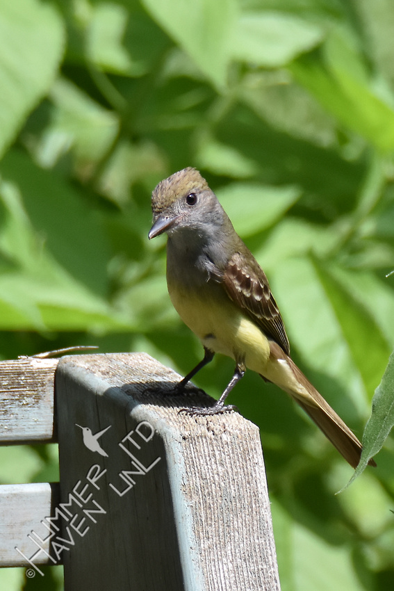 Great Crested Flycatcher 6-4-17