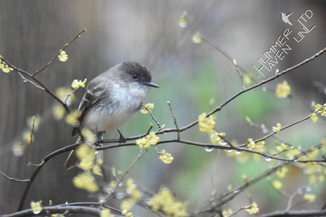 Eastern Phoebe in Spicebush (Lindera benzoin) 3-27-17