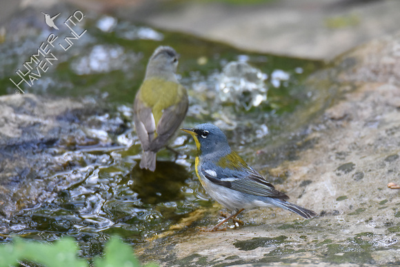 Tennessee Warbler and Northern Parula 5-6-18