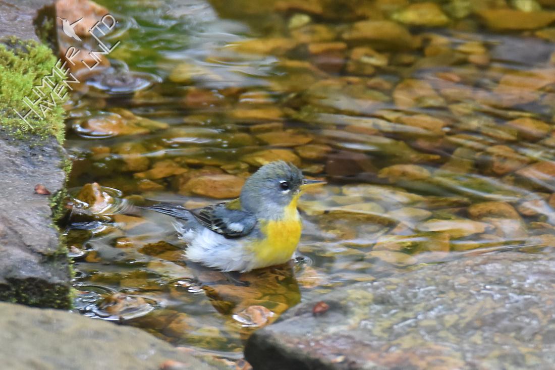 Northern Parula female 4-15-17
