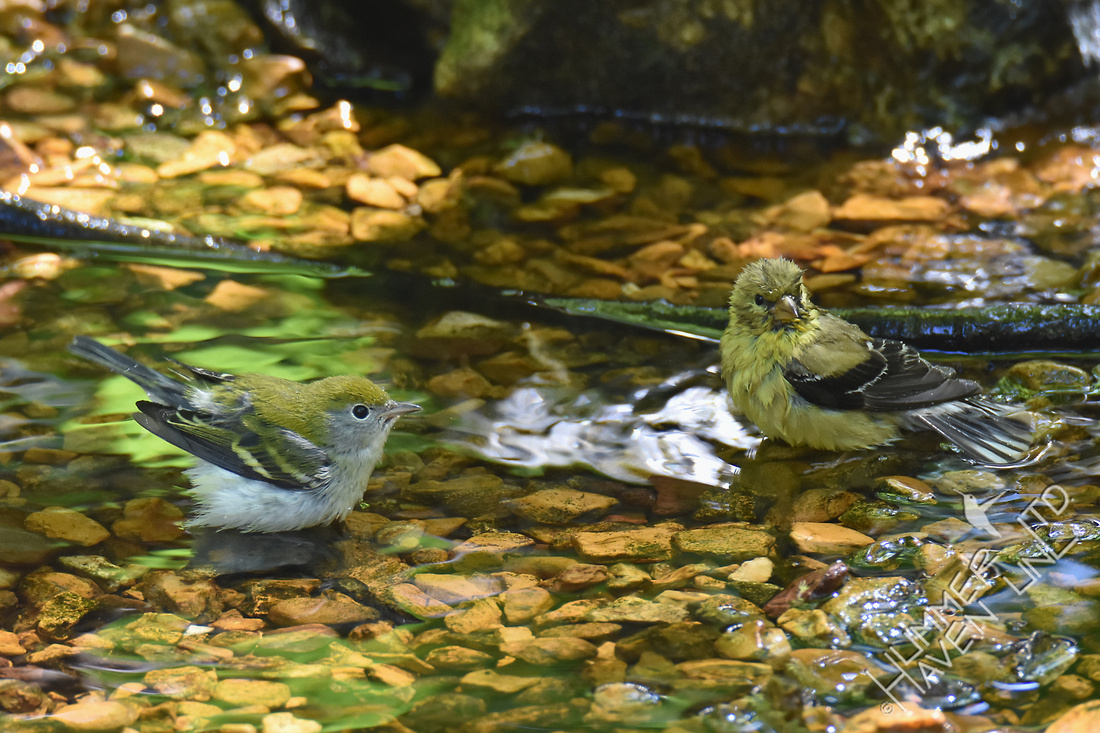 Chestnut-sided Warbler female and American Goldfinch female 8-23-17