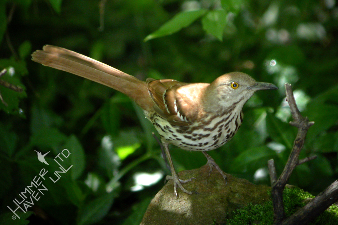 Brown Thrasher 4-28-06