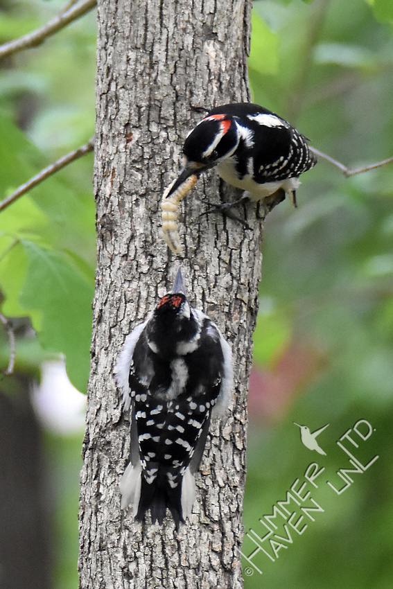 Hairy Woodpecker feeding fledgling 5-1-17