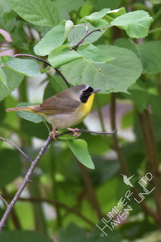 Common Yellowthroat 5-1-17