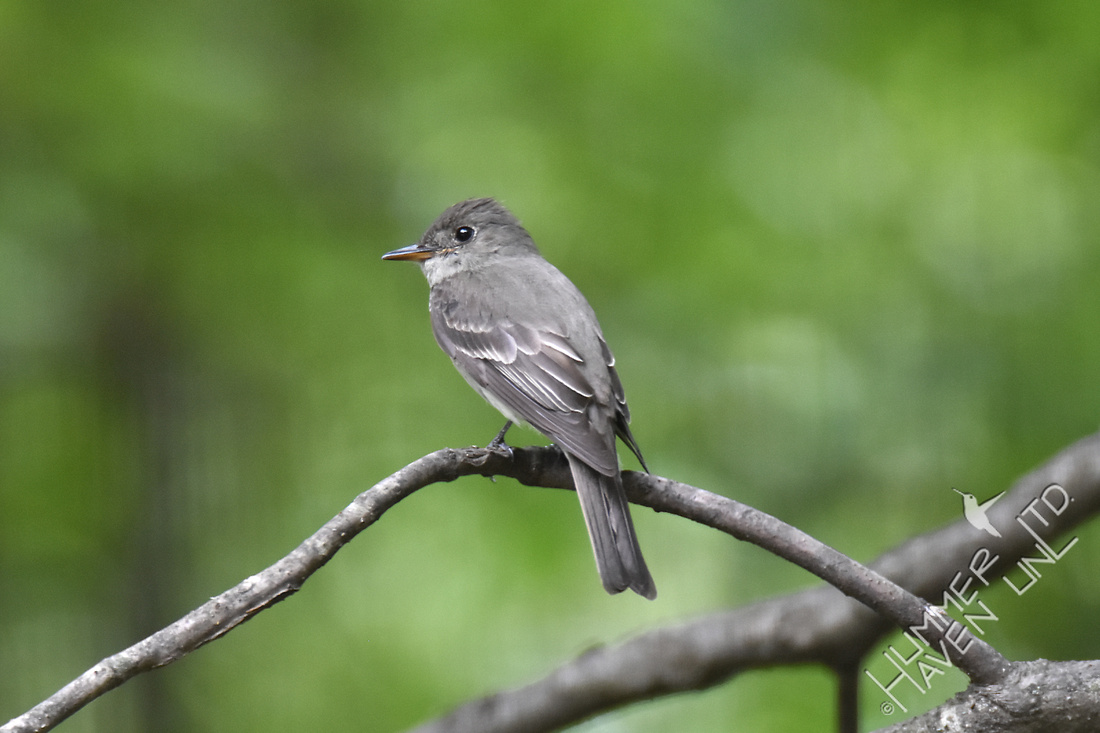 Eastern Wood Pewee 6-29-17
