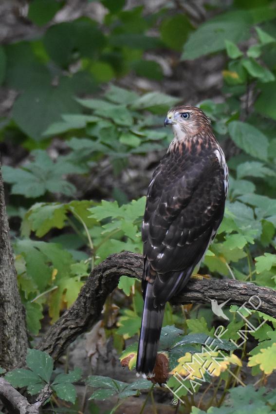 Coopers Hawk 8-1-17