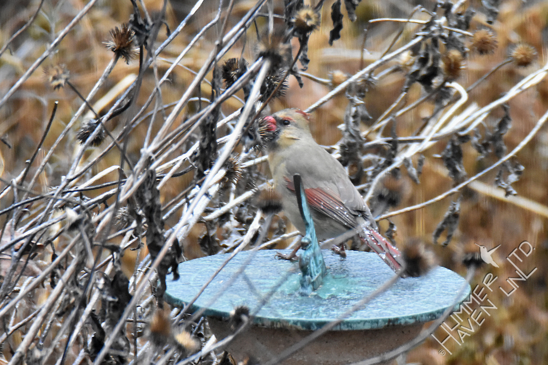 Northern Cardinal female eating seeds of Purple Coneflower (Echinacea purpurea) 1-13-17