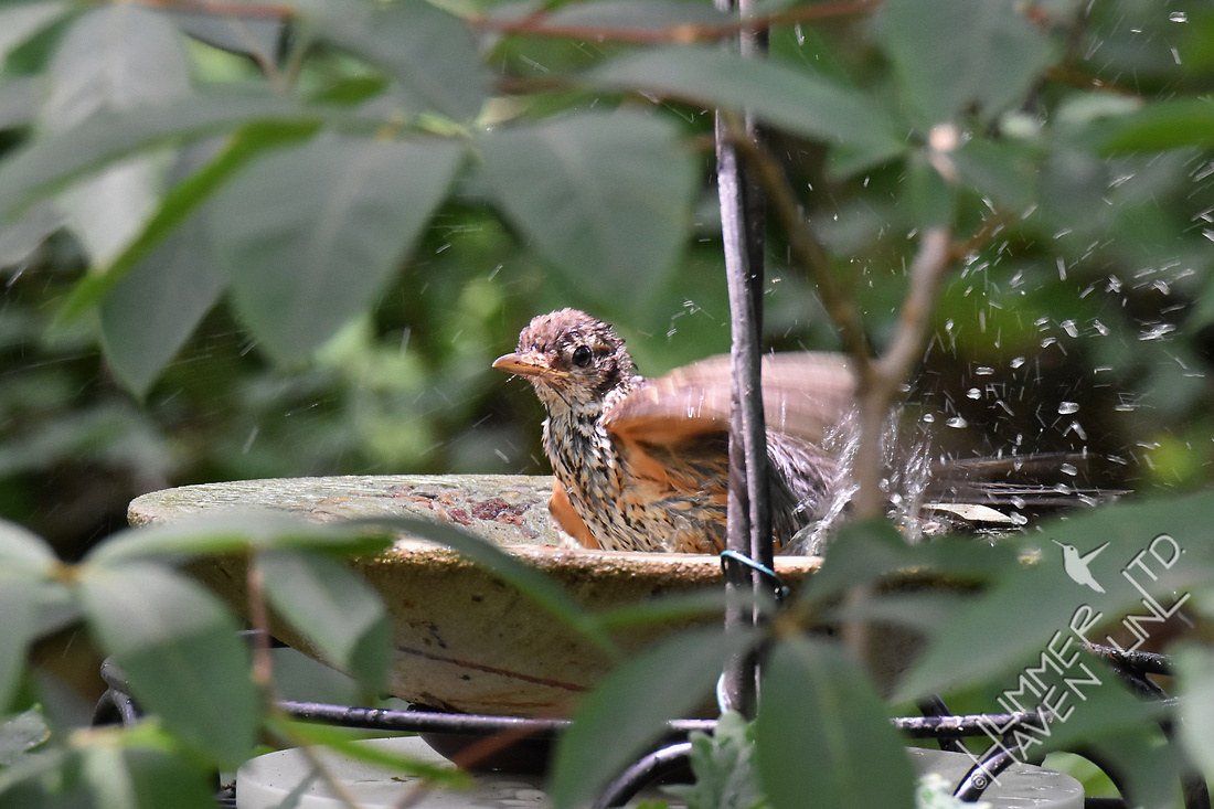 American Robin at dripper bath 6-29-17