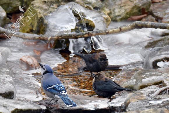 Blue Jay and Rusty Blackbirds at icy Bubbler 1-5-18