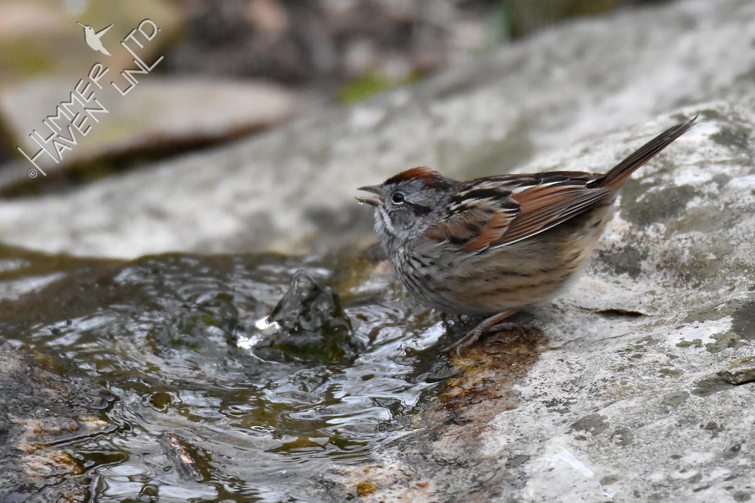 Swamp Sparrow 4-8-18