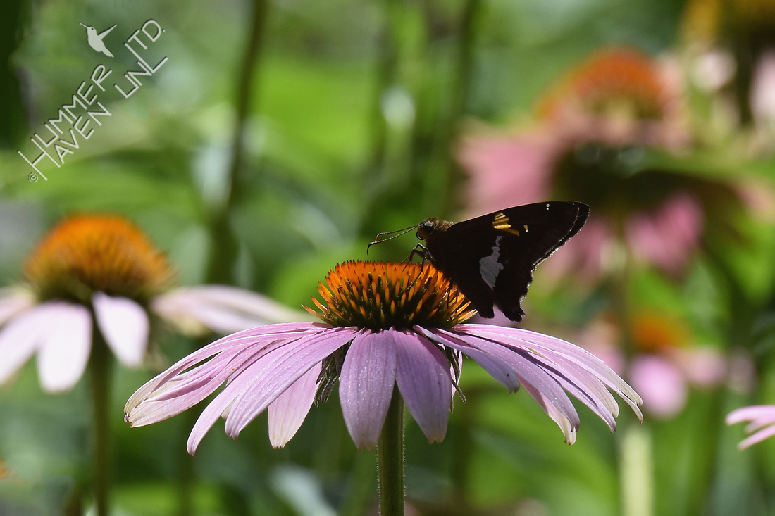 Silver Spotted Skipper on Purple Coneflower (Echinacea purpurea) 7-15-17