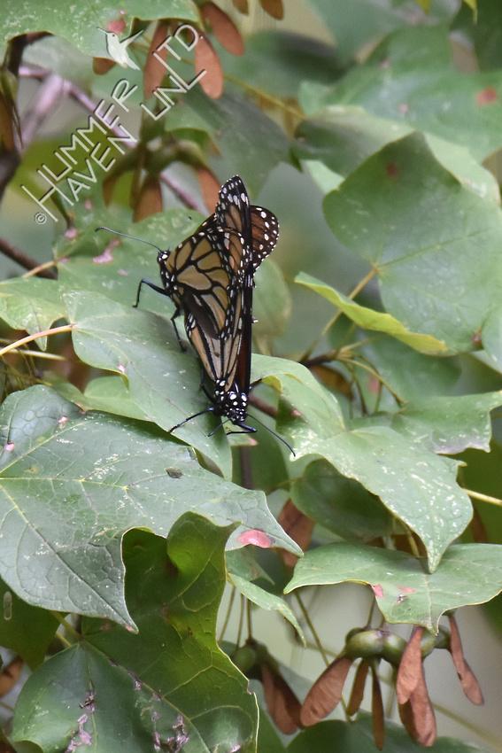 Monarchs mating 8-21-17