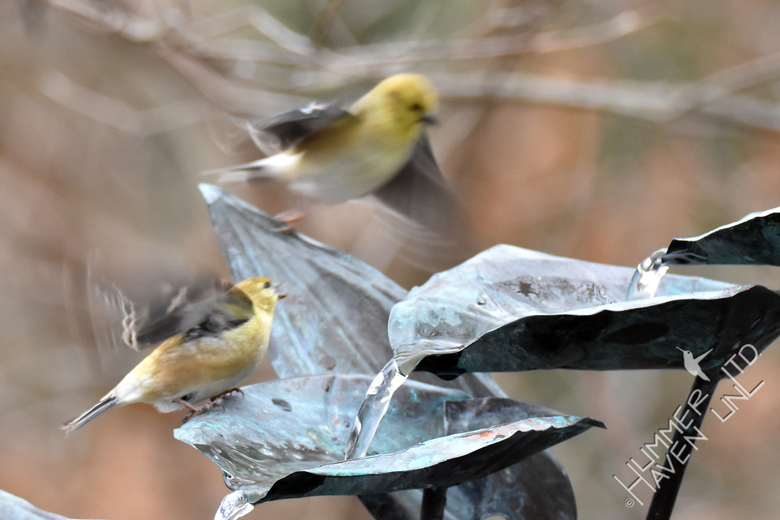 American Goldfinches scatter in fear of hawk 1-27-17