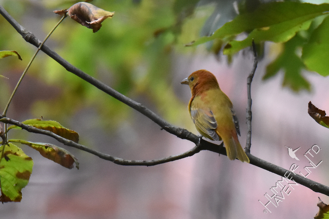Summer Tanager 10-5-17