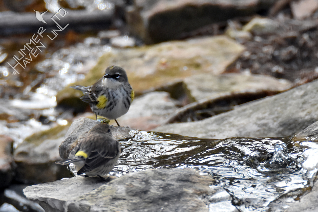 Pair of Yellow-rumped Warblers 1-13-18