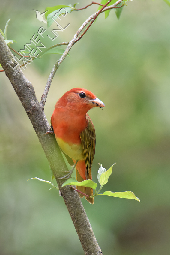 Summer Tanager 5-4-18