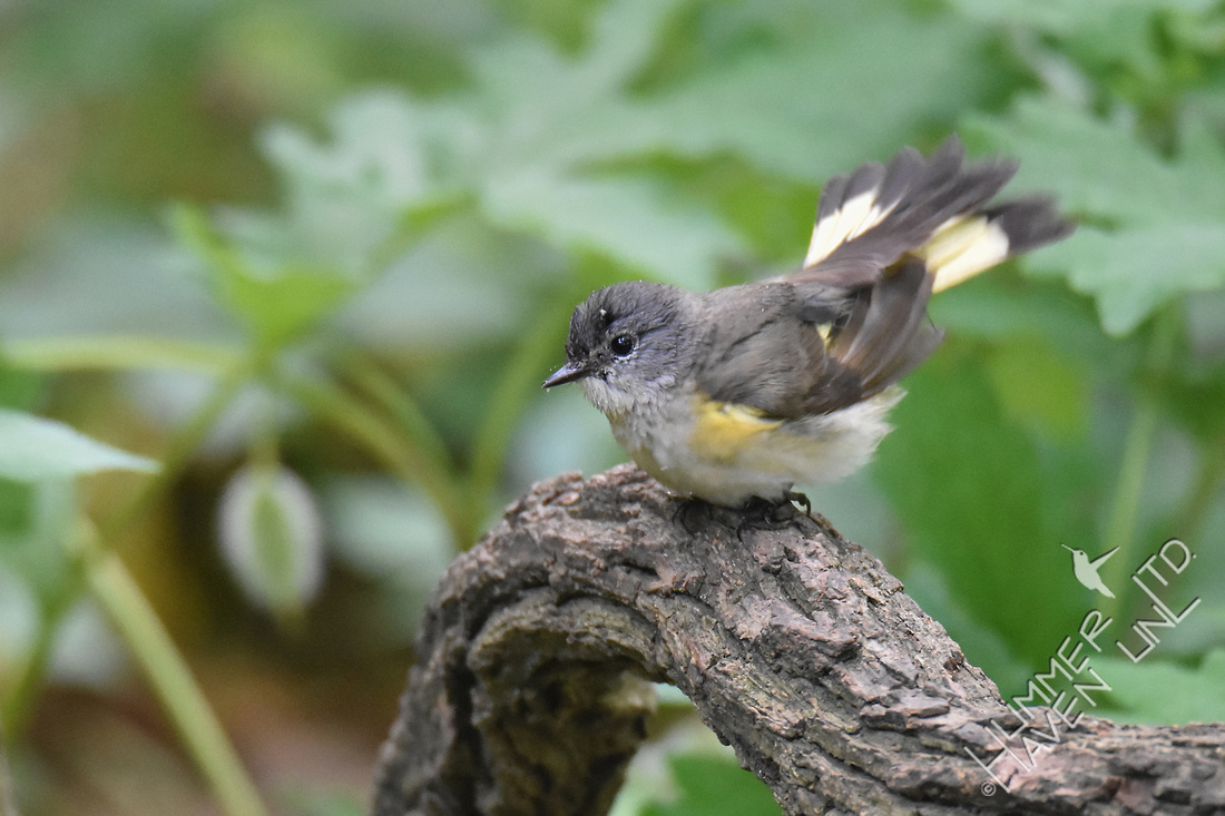 American Redstart  female 5-18-17