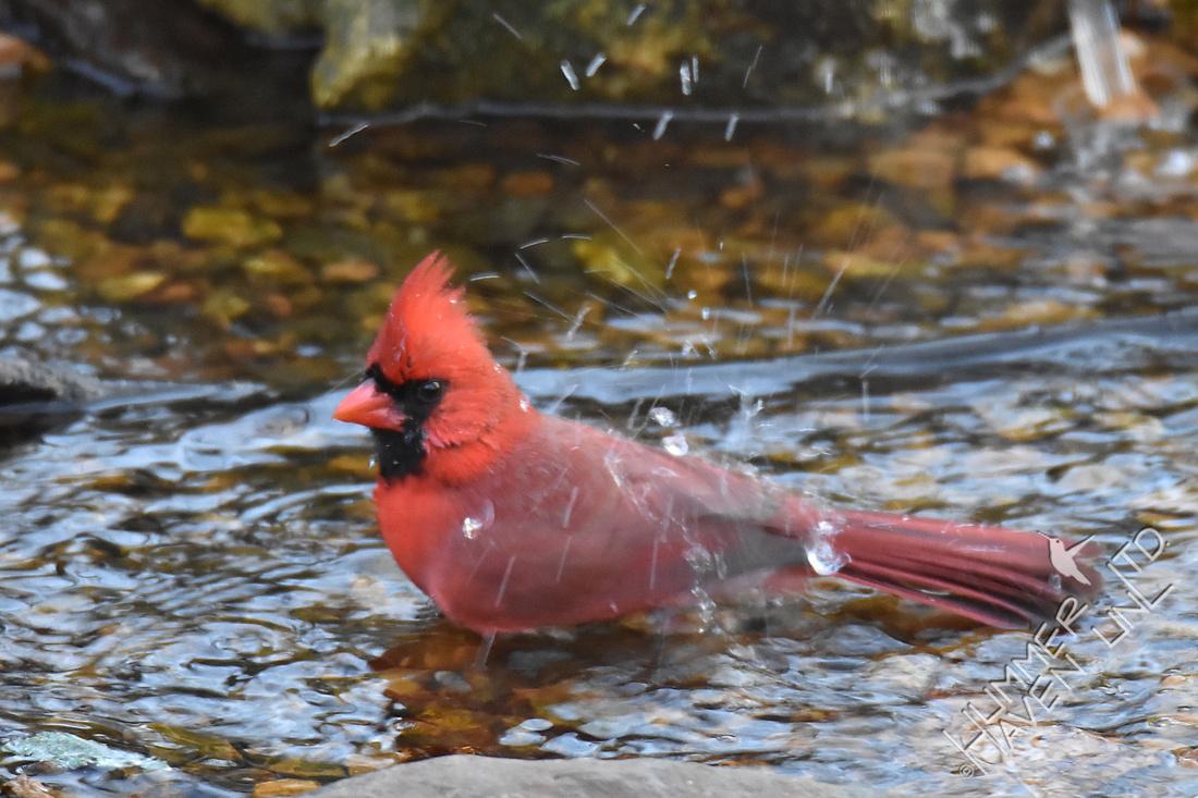 Northern Cardinal 2-7-17