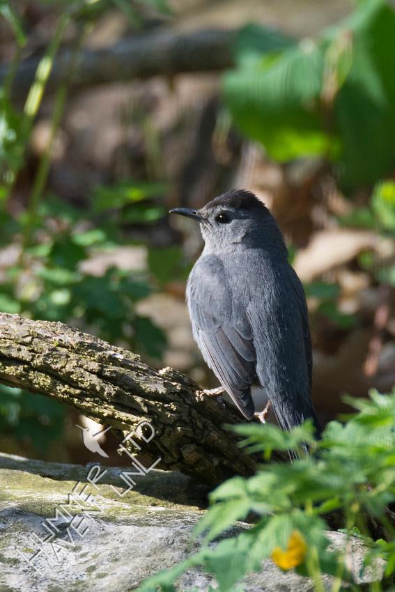 Gray Catbird 4-30-18