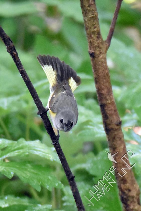 American Redstart 1st yr male 5-18-17
