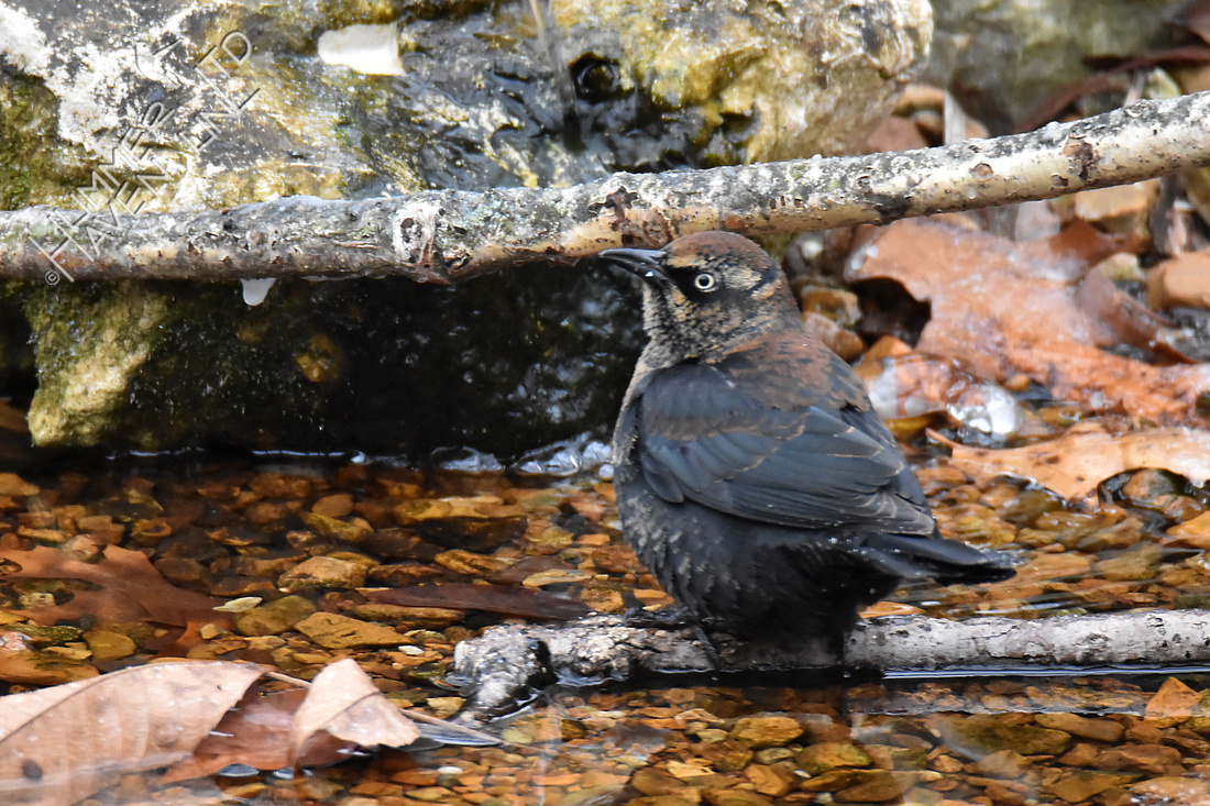 Rusty Blackbird 1-12-18