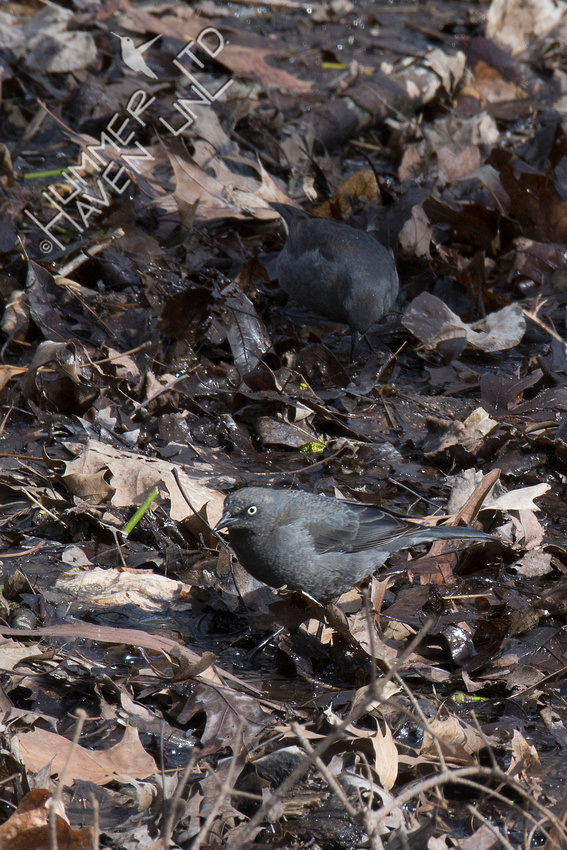 Rusty Blackbirds 4-20-18