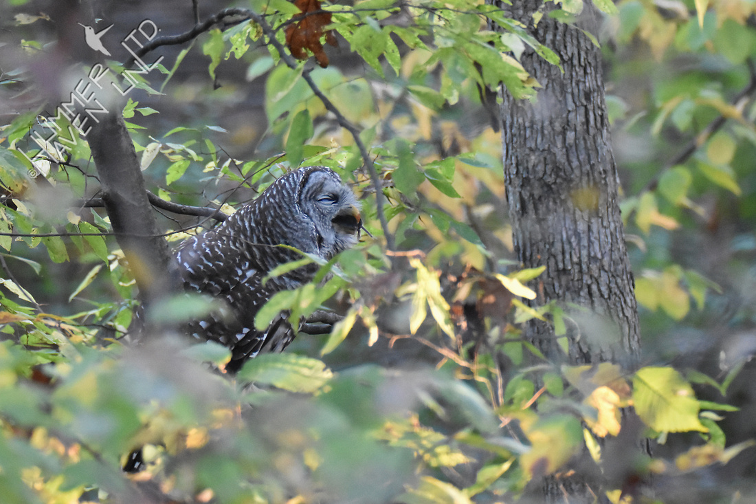 Barred Owl with prey - field mouse 11-4-16