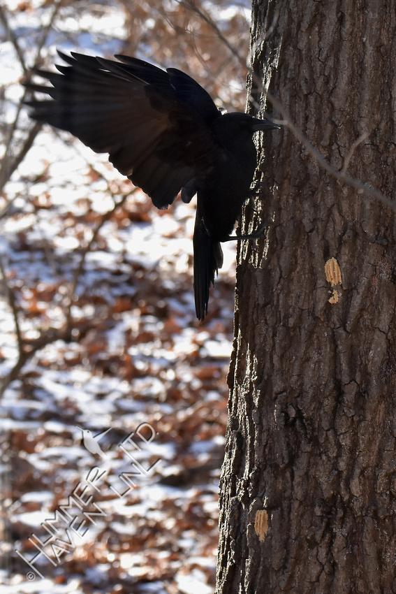 American Crow  1-6-18