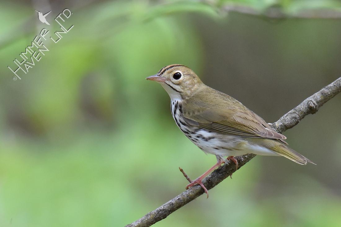 Ovenbird 5-2-18