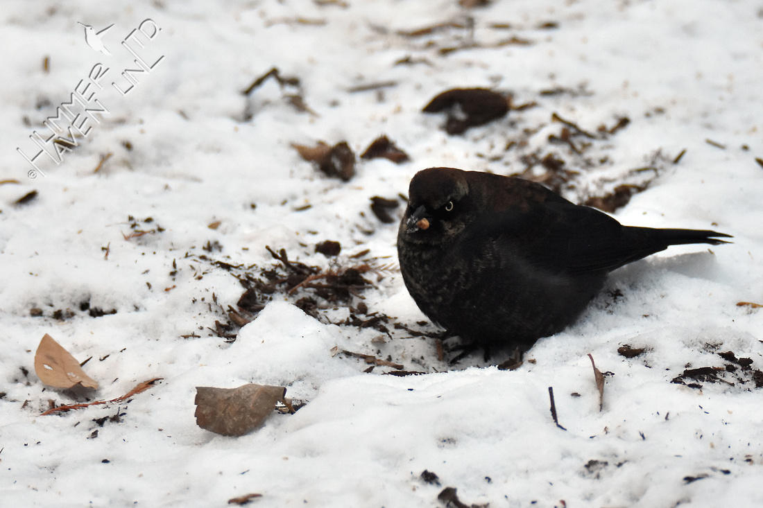 Rusty Blackbird  12-28-17