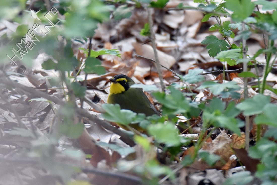 Kentucky Warbler 5-1-18