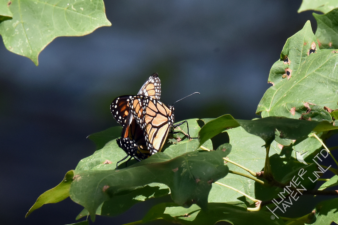 Monarchs mating on Sugar Maple (Acer saccharum) 8-19-17