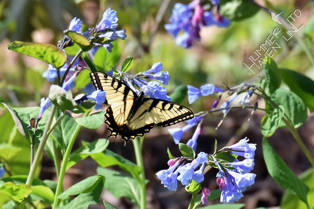 Tiger Swallowtail (Papilio glaucus) at Virginia Bluebells (Mertensia virginica) 4-9-17