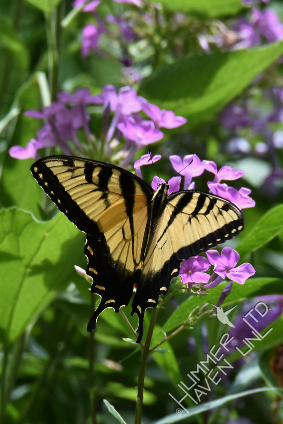 Eastern Tiger Swallowtail on Meadow Phlox (Phlox maculata) 7-15-17