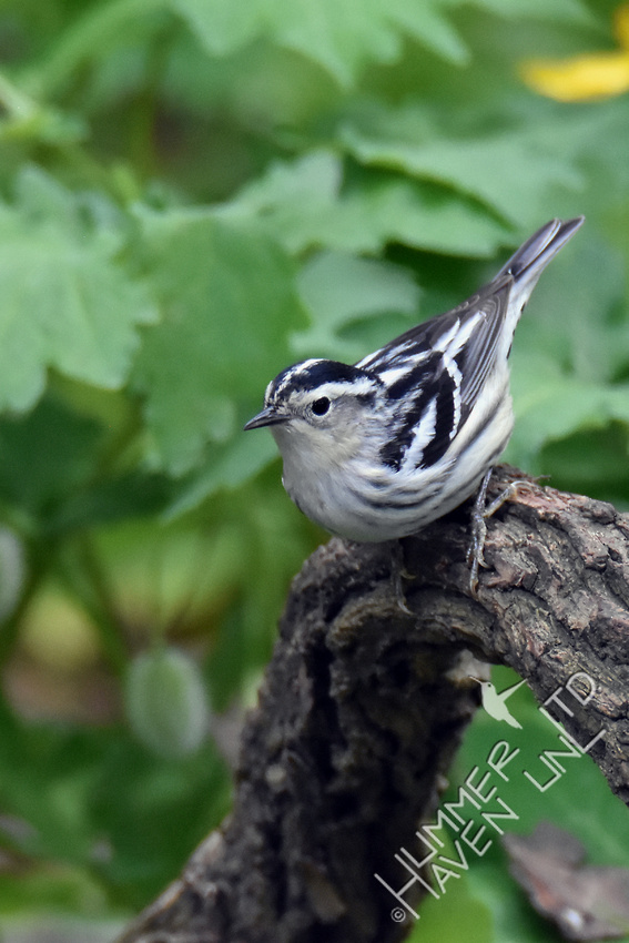 Black and White Warbler female 5-10-17