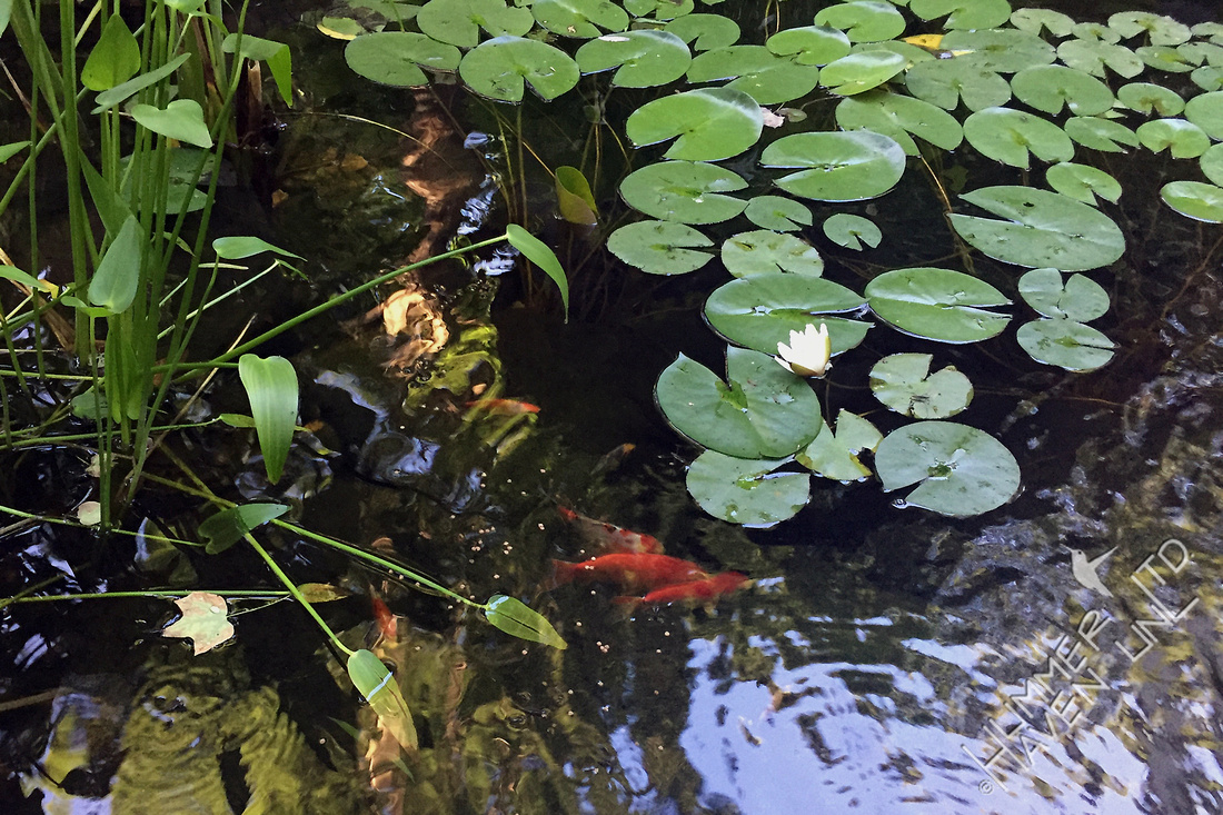 First Water Lily 6-13-17