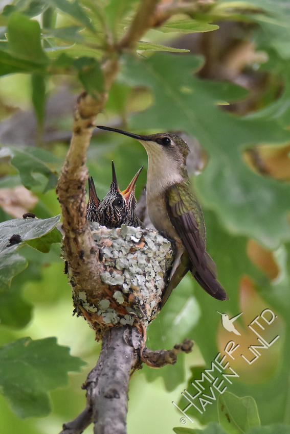 6-22-17 Ruby-throated Hummingbird chicks 10 days old