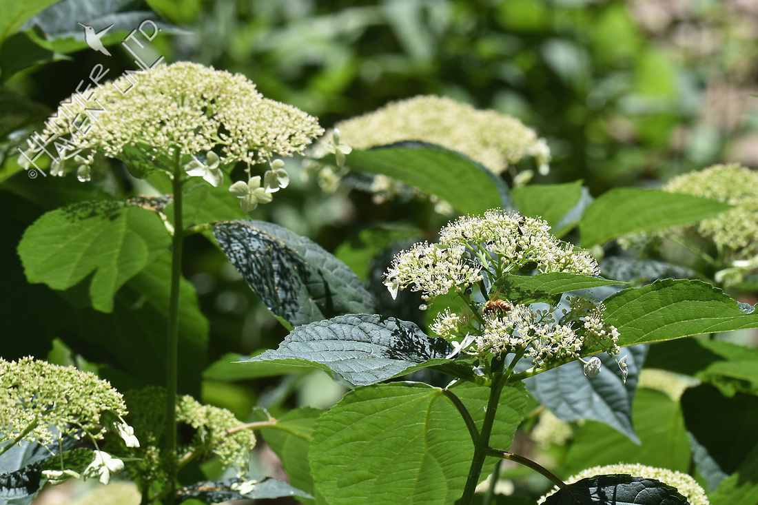 Pollinators on Hydrangea arborescens x White Dome 6-26-17
