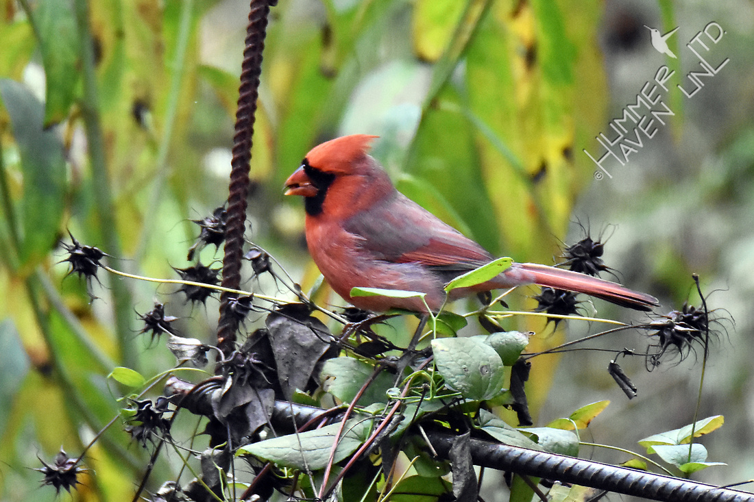 Northern Cardinal eating seed of Leatherflower (Clematis versicolor) 10-11-17