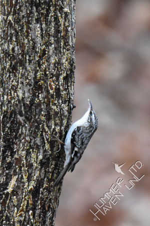 1-2-17 Brown Creeper