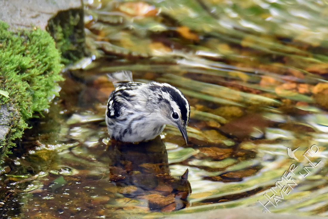 Black and White Warbler female 5-2-17