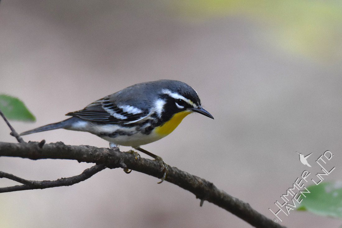 Yellow-throated Warbler 9-3-17 Bubbler Bird #118