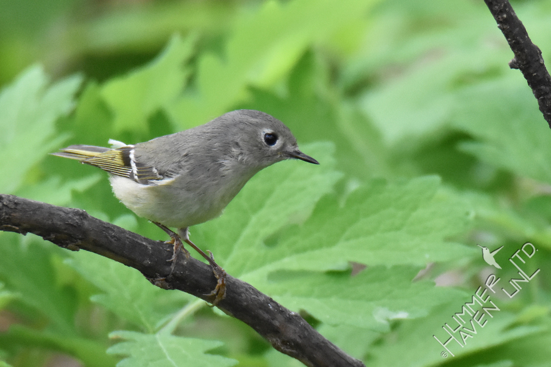 Ruby-crowned Kinglet 4-20-17